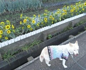 ど雑種人生105 向日葵