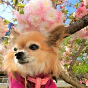 桜の順番。