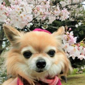 しだれる桜とシンクロ姫さま。