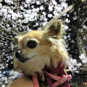 夜桜とぼんやり姫さま。