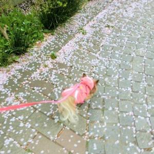 桜吹雪が目に入りそう?