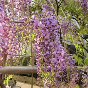 淡い藤色桜色。