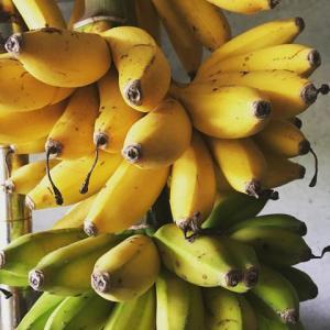 今年初の島バナナ収穫
