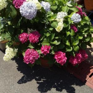 紫陽花と梅雨入りと営業再開♪