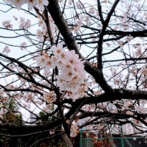 10年。桜の花が今年も咲きます。