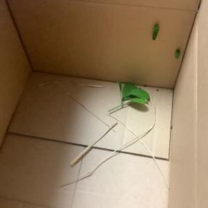 虫の写真にご注意下さい!今年最後のナミアゲハの青虫さん