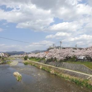 京都出町柳にお花見散歩。
