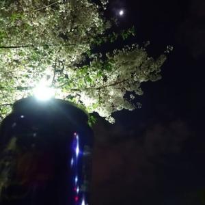 公園ベンチで夜桜