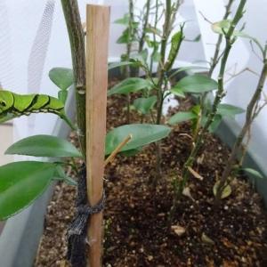 注:虫画像有り。 ナミアゲハの幼虫、葉っぱがなくなった。。