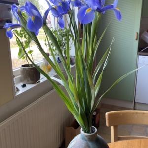 菖蒲の花で祝う子供の日