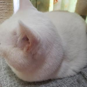 まん丸白猫くぅちゃんの主張「あたちだって!」の巻~