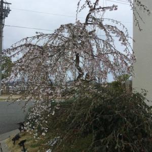 箕面森町動物病院の桜は見頃です