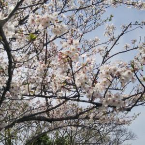 愛知も桜が満開です~!