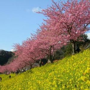 早春【みなみの桜と菜の花まつり】