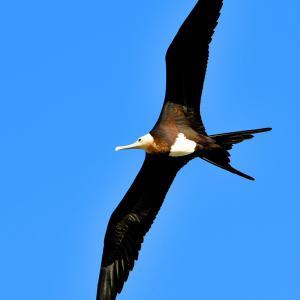 オオグンカンドリ 野鳥273