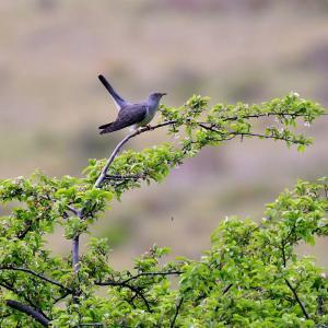 カッコウ 野鳥272