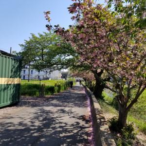 八重桜が見頃!