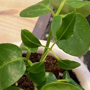 トリプル室内観葉植物