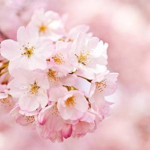 桜の花 ひとひら