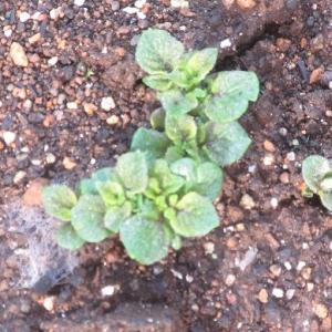 ジャガイモの芽が