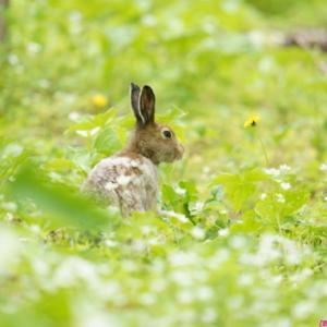 密を避けると・・・ノウサギ。