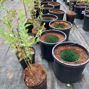 【養液栽培】Wポットブルーベリーの植え替え(品種別の根張りの違い)