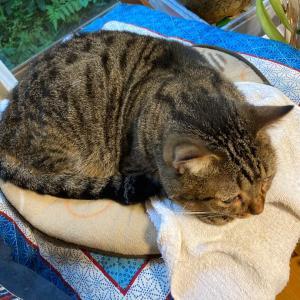 【にゃんこ】トラさんのお気に入りタオル