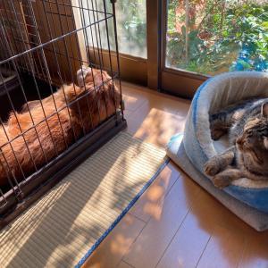 【にゃんこ&わんこ】ひなたぼっこするトラさんとミヤビくん