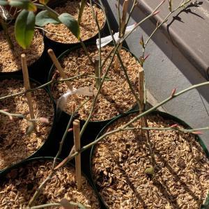 【ブルーベリー】動き出すブルーベリーの花芽と葉芽