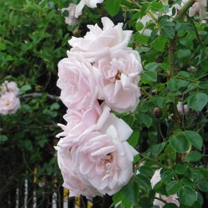 バラの花が見頃