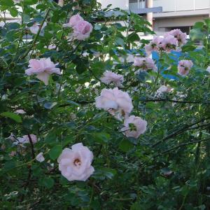 近所のバラをPENTAX Qで撮影