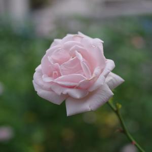 6月 紫陽花の前にバラを撮りました