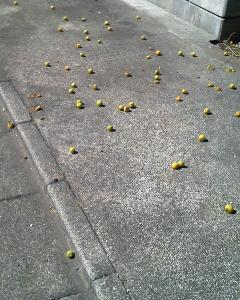 梅の実が散乱している