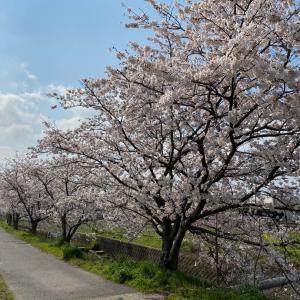 2020桜〜近江八幡