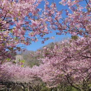 河津桜の下を歩く