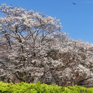 桜は満開、古民家もすっきりと...