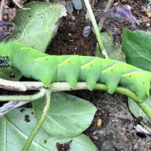 巨大芋虫が突然茄子の葉に