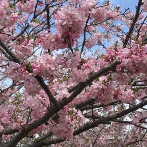 栃木県小山市 大行寺キャンパスへのお花見