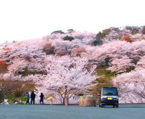 倉敷某所の桜