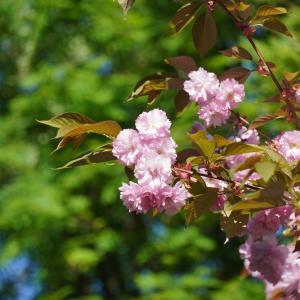 今年も満喫…桜。