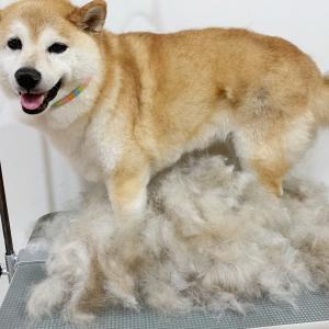 シニア犬のシャンプー。