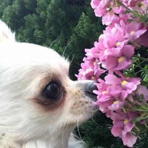 ピンクの花(⋈◍>◡<◍)。✧♡ きれいです