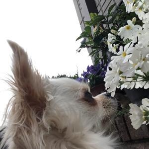今日は、白い花(#^.^#)