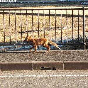 我が道を行く野生の狐!