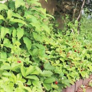 雑草と共存する庭でワイルドストロベリーの収穫