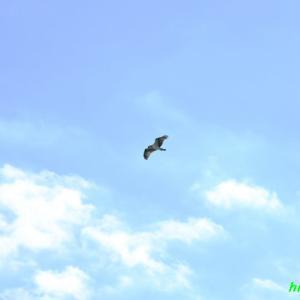 猛禽類の捕獲の瞬間