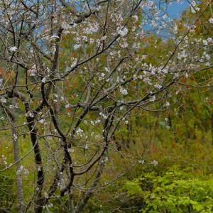 「十月桜 (じゅうがつざくら)」と「彼岸花 (ひがんばな)」