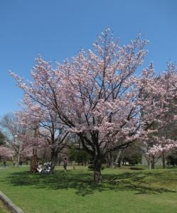 *ついに!桜開花~ヽ(´▽`)/