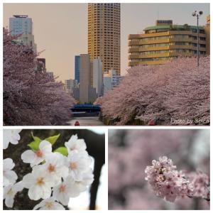 目黒川の桜_収束を願って