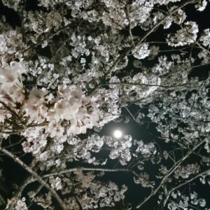 夜の公園で夜桜とスーパームーンを。